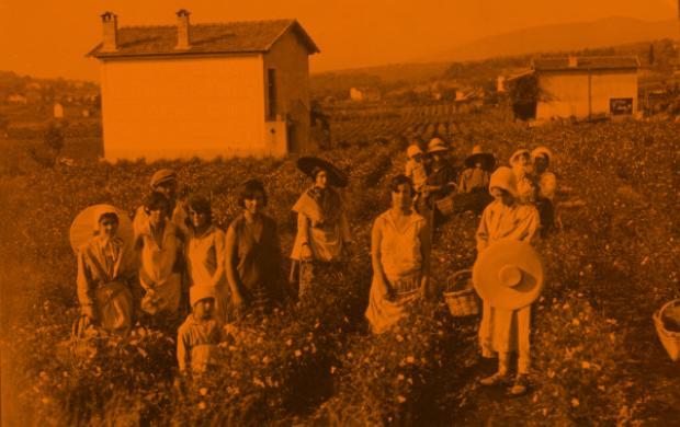 Cueillette du jasmin pour les parfums, photographie: J. Weyer, 1936, Provence-Alpes-Côte d'Azur, Alpes-Maritimes, Grasse ©Mucem
